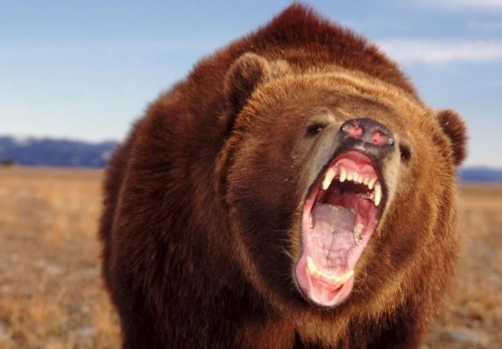 Медведей стало слишком много