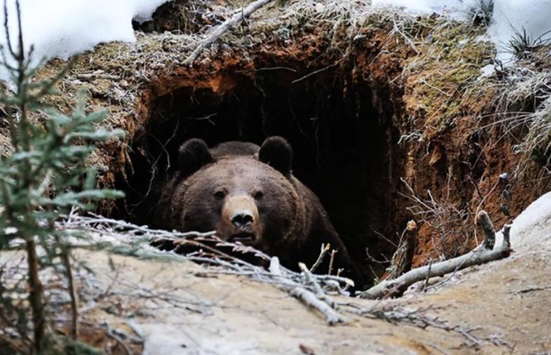 Заглянуть в берлогу к медведю